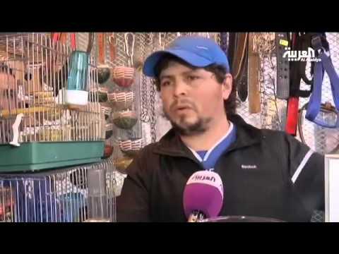 طائر الحسون ب 3000$ في الجزائر!