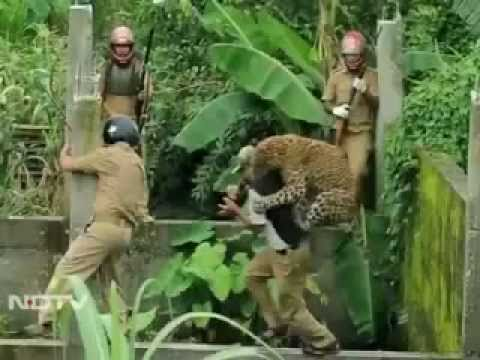Leopard attacks forest guard Caught on camera 