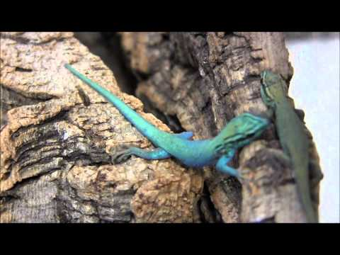 Electric Blue Geckos