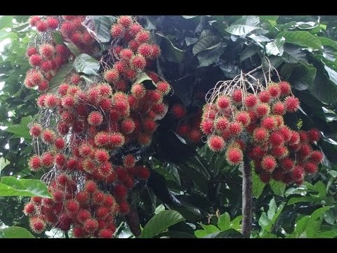 how to grow rambutan fruit tree