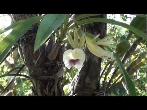 Orquídea galeandra em árvores, Plantas ornamentais, Flores exóticas,