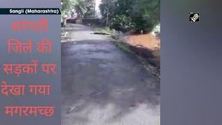 video:सांगली जिले की सड़कों पर देखा गया  मगरमच्छ