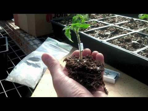 Cornell Vegetable Program: Grafting Tomatoes