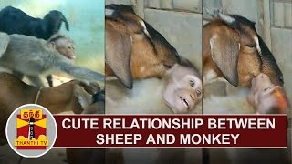 Cute Relationship between Sheep and Monkey