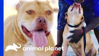 Old Dog Krunch Keeps Getting Passed Up for Adoption | Pit Bulls & Parolees - ANIMALPLANETTV