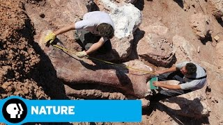 NATURE |  Raising the Dinosaur Giant | Preview | PBS - PBS