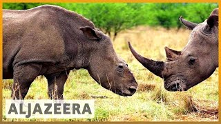 🇿🇦 Efforts to save endangered rhinos in South Africa show hope l Al Jazeera English - ALJAZEERAENGLISH