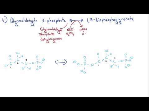 Introduction to Biology - 11 - Glycolysis