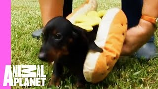 Tina The Dachshund Plays With Her Pups In Adorable Hot Dog Outfits | Too Cute! - ANIMALPLANETTV