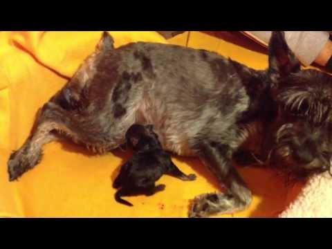 Parto de un perro - Mi schnauzer da a luz a ocho cachorros