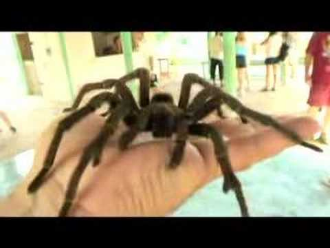 BIG spider tarantula on my hand