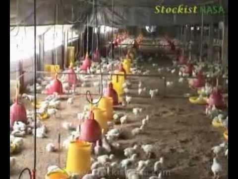 Budidaya Ayam Broiler Menggunakan Produk NASA (Kediri)