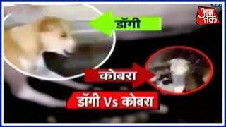 कुत्ते और किंग कोबरा में जंग - AAJTAKTV