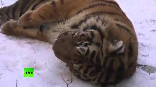 Tiger Escape! Decides to take a stroll in Russian park - RUSSIATODAY