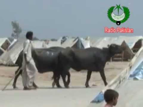 Sindh Flood - Animals Affected In Heavy Rains (Report) 201.flv