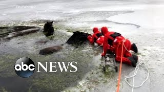 Two Clydesdales fall through ice on a frozen lake - ABCNEWS