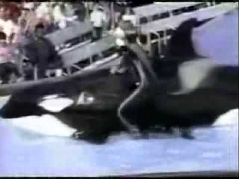 Killer whale goes crazy