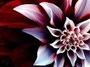 Ababil-mawar Jingga