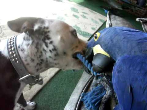Thumbnail image for 'Pit Bull Plays with Macaw'