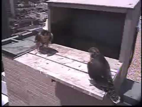 2013 Topeka Falcon Cam-June 17, 2013 @ 1509 hrs EDT.
