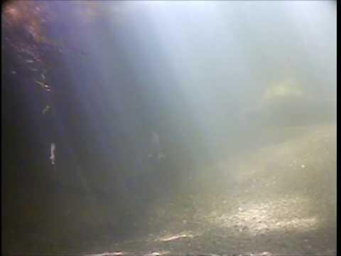 San Francisquito Creek Adult Steelhead- Beyond Searsville Dam