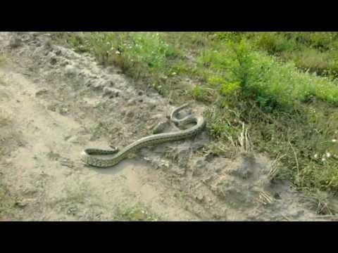 Caza de anaconda gigante