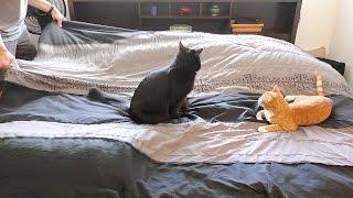 رد فعل قطة حاول صاحبها إبعادها عن ترتيب السرير