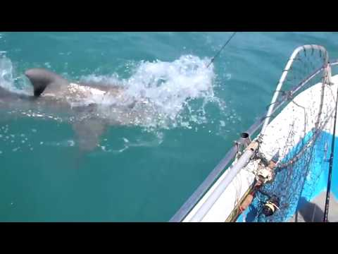 Huge Bull Shark attacks and eats another Bull Shark