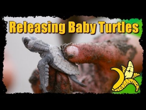 Releasing New Born Baby Turtles into the Sea!