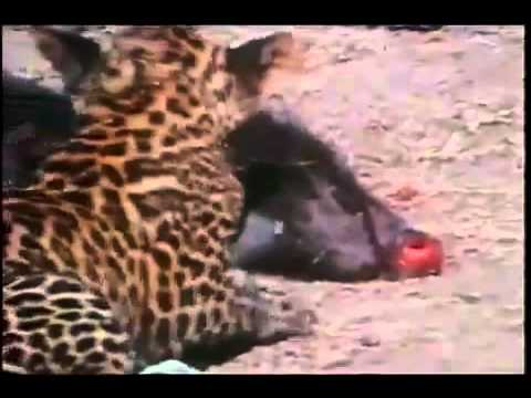 jackal &amp; young leopard brutal fight