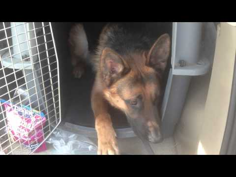 German Shepherd learns to down and relax before coming out of crate