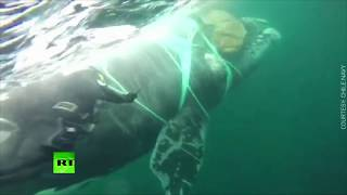 Underwater struggle: Chilean navy divers rescue whale trapped in fishing net - RUSSIATODAY
