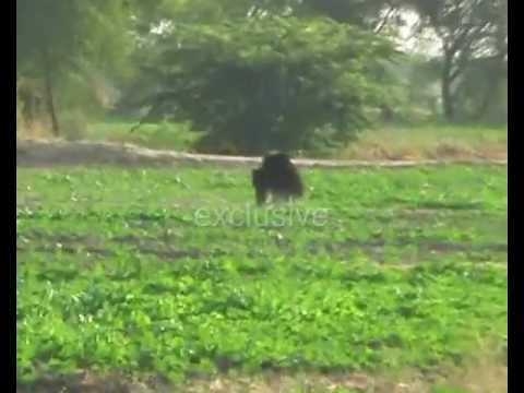 BEAR IN A VILLAGE KUNDER TONK RAJASTHAN.wmv