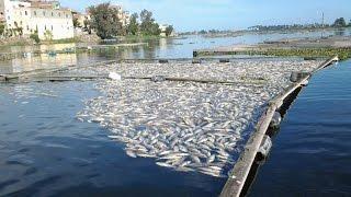 نفوق أطنان من الأسماك في فرع رشيد بنهر النيل