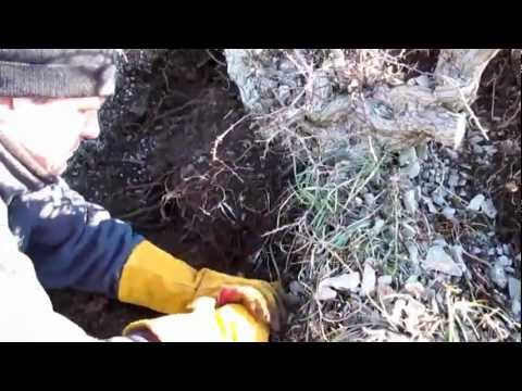 Collecting a Huge Yamadori Hawthorn for Bonsai off the Mountain