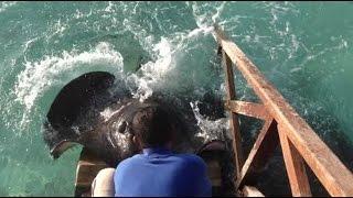 سمك الراي اللاسع يظهر بشكل مرعب لشخص يطعم الأسماك!