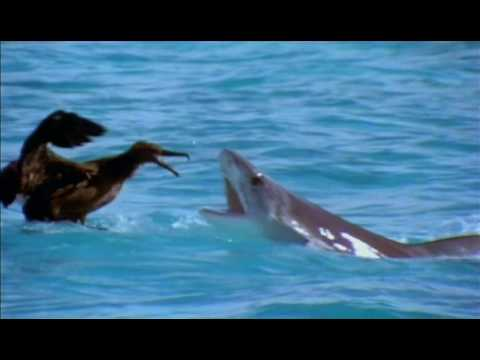 Albatros vs Requin Tigre
