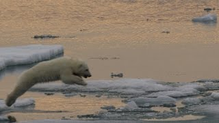 What Ice Loss Means to Polar Bears - ANIMALPLANETTV