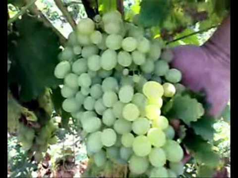 Столовыи виноград./ Butasi de vita de vie