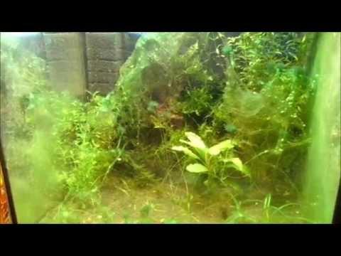 И тем не менее распространение зеленых водорослей в аквариуме в больших количествах недопустимо