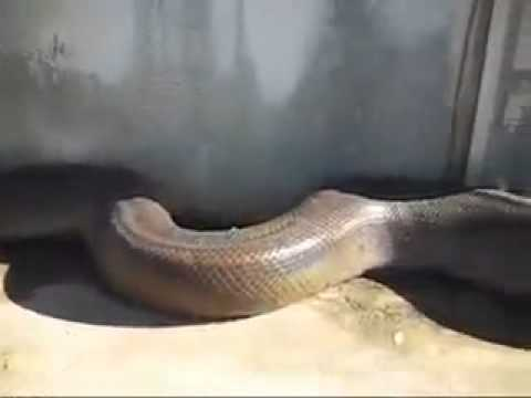 Big snake in kurram agency