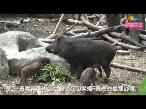 臺灣野豬寶寶「吸奶攻防戰」Wild Boar Cubs