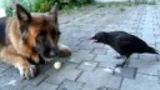 カラスと犬がボールで仲良く遊ぶ映像