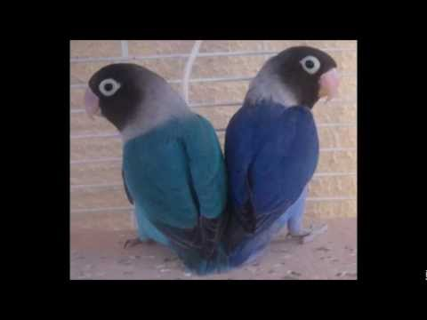 Razas agapornis/ Types of lovebirds