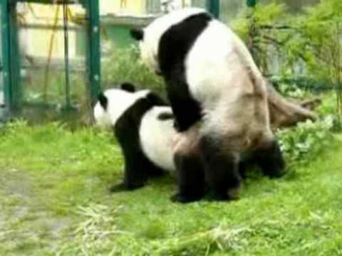 Panda couple mating! Zoo Vienna