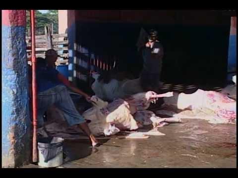 Condições do abate bovino em Itororó-BA