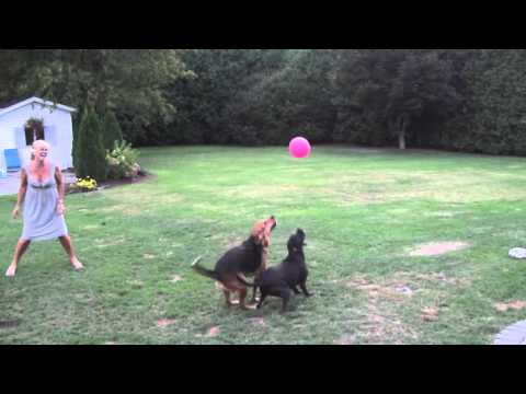 "Cute Dogs Playing with Balloon ""the balloon dogs"""