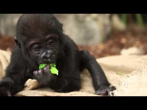 Thumbnail image for 'Nayembi, a baby gorilla at Lincoln Park Zoo, is the cutest animal ever'