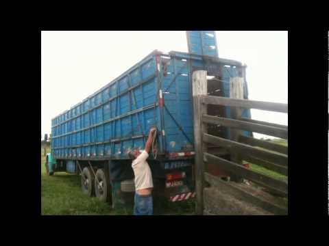 Embarque e abate de 20 bovinos. MB MILK&BEEF