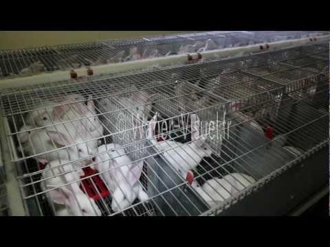 Atelier d engraissement dans un elevage industriel de lapins